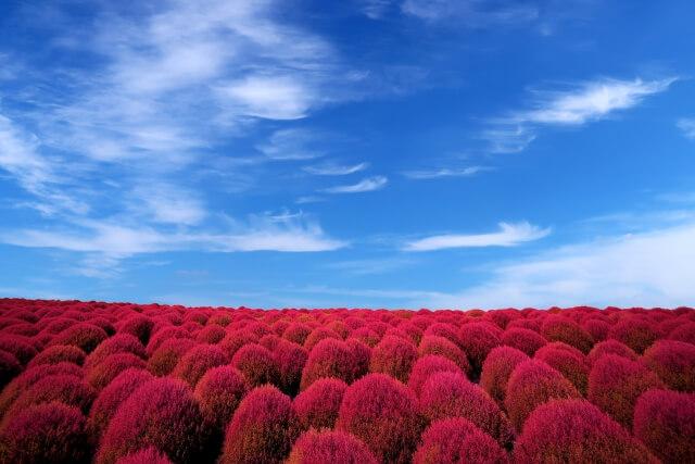 茨城の紅葉 見頃 ひたち海浜公園のコキア