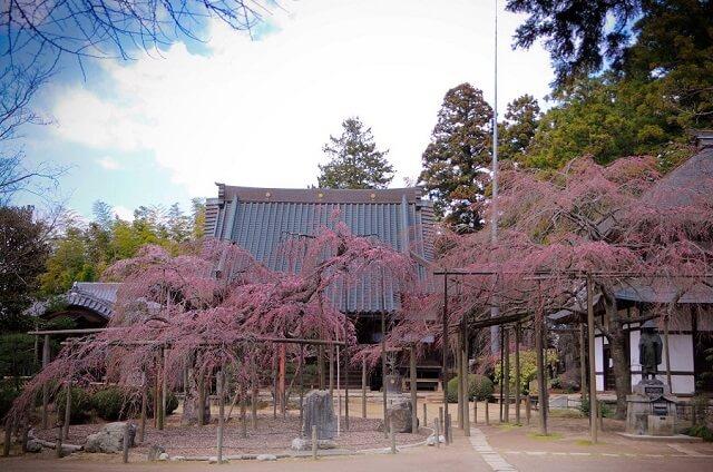 水戸 観光 六地蔵寺 しだれ桜