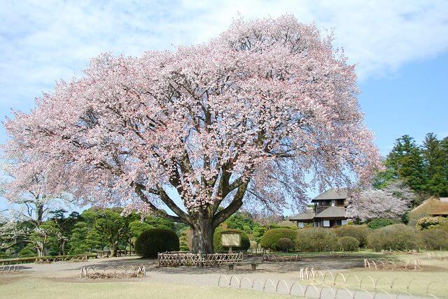 偕楽園 好文亭 左近の桜