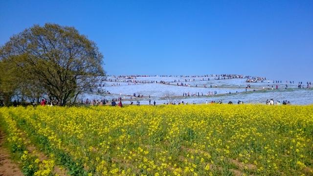 国営ひたち海浜公園 花 菜の花