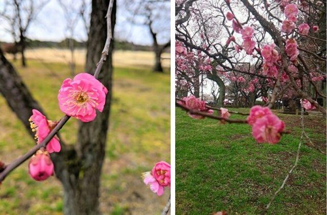 偕楽園 梅まつり 早咲き
