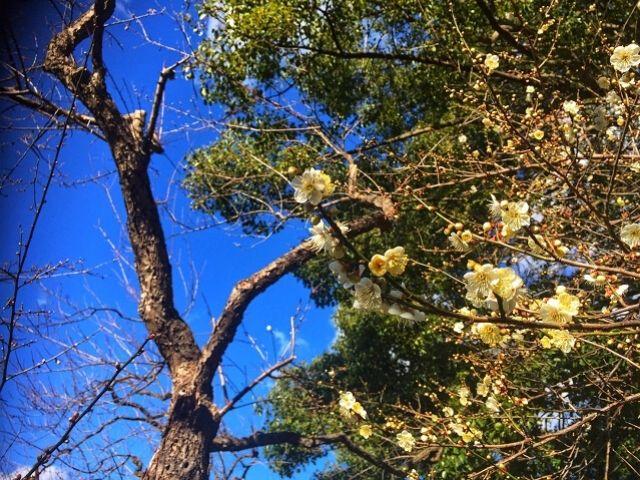 梅 開花状況 蝋梅