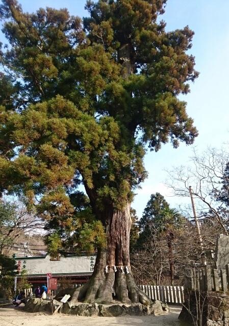 筑波山神社 ご利益 大杉