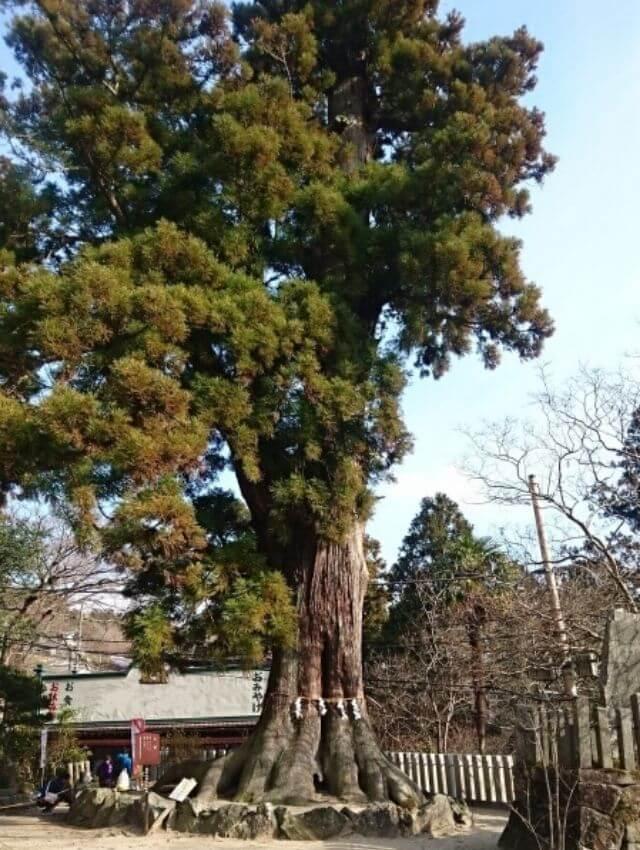 筑波山神社 ご神木 巨木 大杉