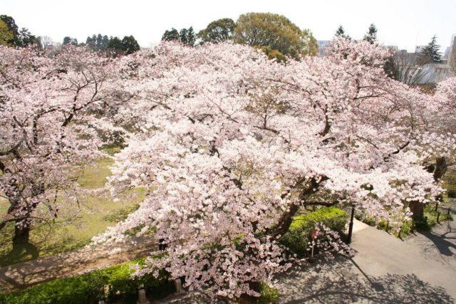 水戸駅の周辺 観光 弘道館公園の梅