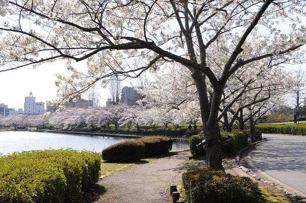 水戸 観光 桜の名所 桜まつり