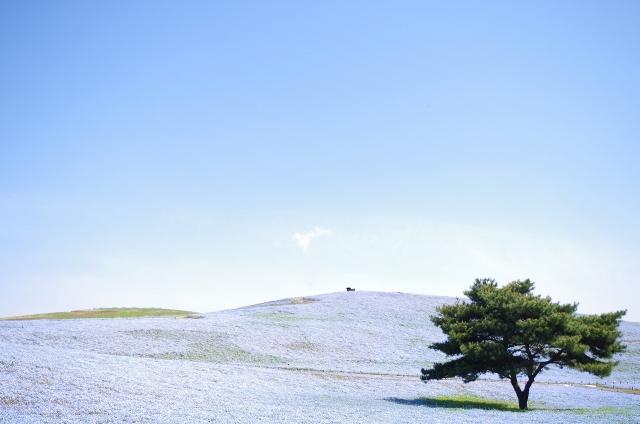 GW 茨城 おすすめ 子連れ 国営ひたち海浜公園 ネモフィラ