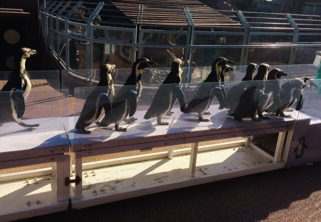 GW おでかけ 茨城 大洗水族館 ペンギンのお散歩