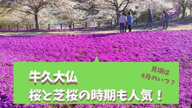 牛久大仏 桜 芝桜
