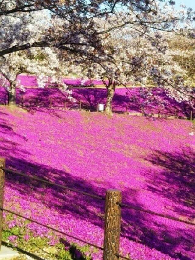 牛久大仏 群生池 桜 芝桜