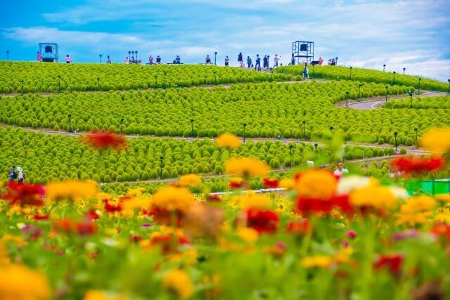 国営ひたち海浜公園 緑のコキア 夏