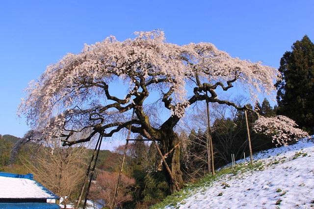 袋田の滝 周辺 観光スポット 外大野のしだれ桜