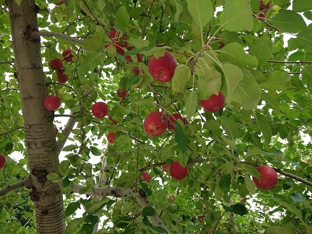 袋田の滝 周辺 観光スポット りんご狩り