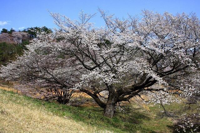 袋田の滝 周辺 観光スポット 沓掛峠の山桜