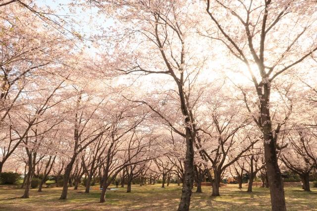 茨城 桜 名所 鹿嶋市 鹿島城山公園