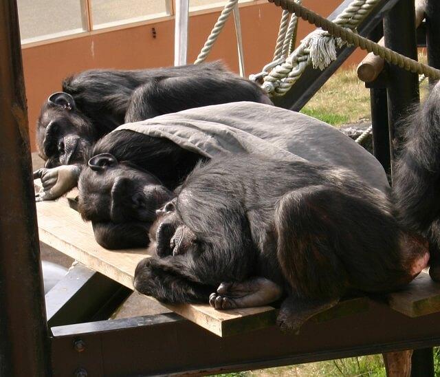日立市 かみね動物園 チンパンジーの森