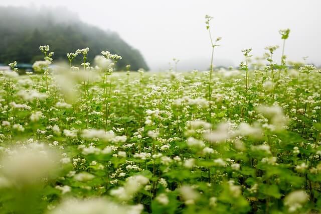 ひたち海浜公園 秋 ソバの花