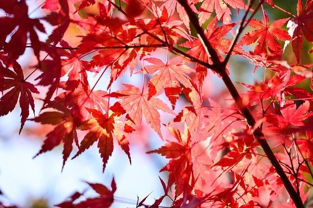 花貫渓谷 紅葉 混雑