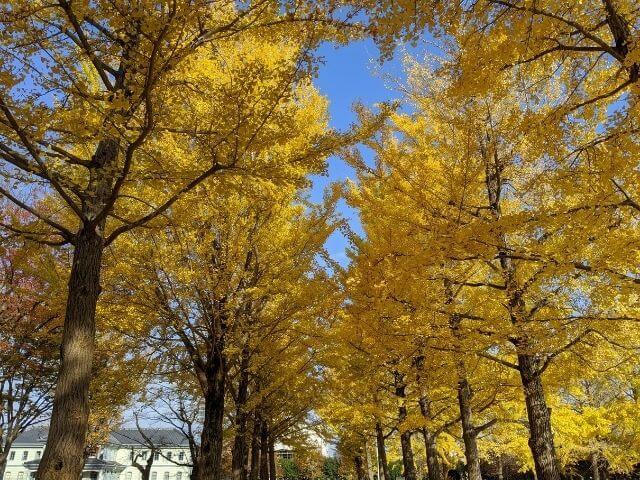 水戸 紅葉 茨城県立歴史館 イチョウ並木