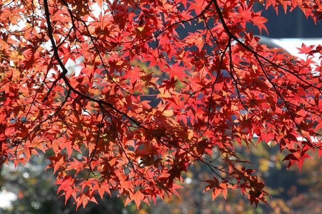 花貫渓谷 紅葉 もみじ 見頃