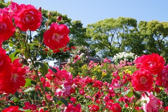 茨城県フラワーパーク 薔薇 バラまつり