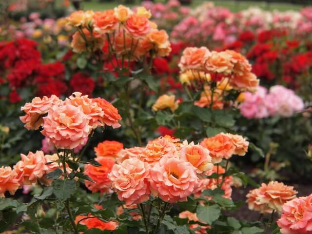 茨城県フラワーパーク バラ 庭園
