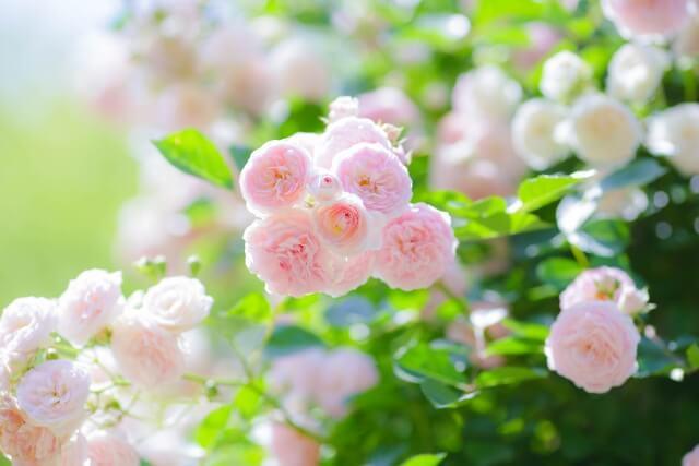 茨城県フラワーパーク バラ リラックス効果