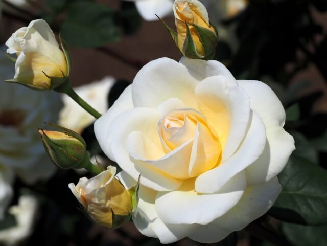 茨城県フラワーパーク 白いバラ