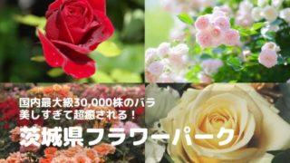 茨城県フラワーパーク バラ
