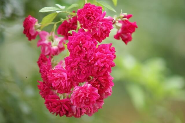 茨城県フラワーパーク バラ 品種