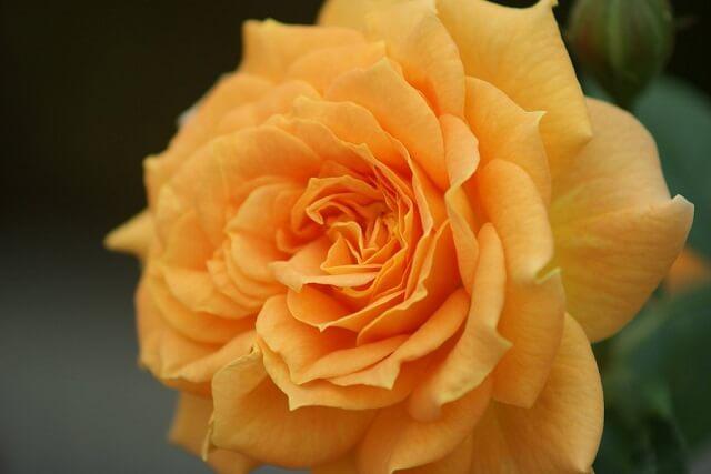 茨城県フラワーパーク 黄色 バラ