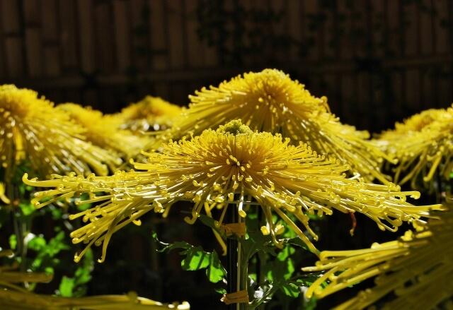 笠間稲荷神社 菊まつり