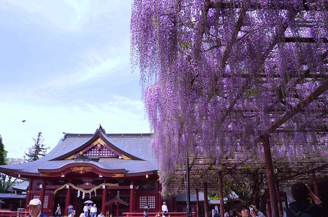 笠間稲荷神社 藤 春
