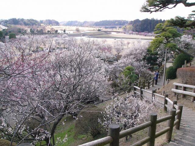 茨城観光 冬 2月 水戸梅まつり 偕楽園
