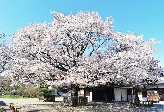 弘道館 正庁の玄関 左近の桜