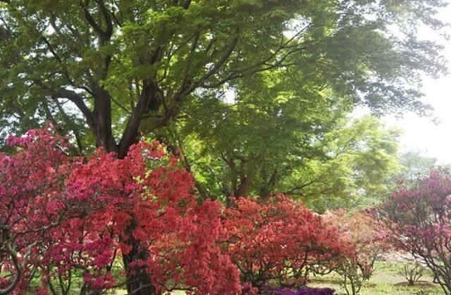 つつじまつり 笠間つつじ公園 つつじと新緑
