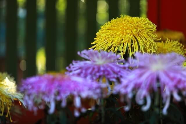 笠間稲荷神社 祭事 菊まつり