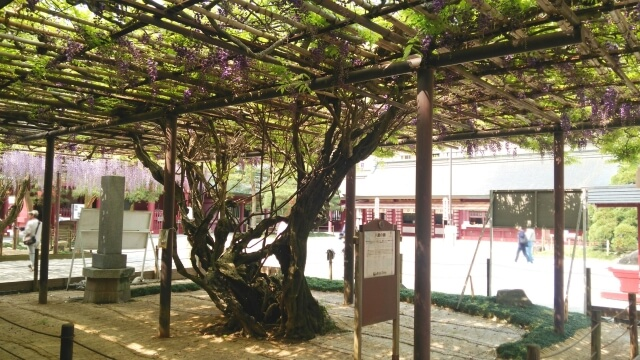 笠間稲荷神社 御朱印 境内 藤の木