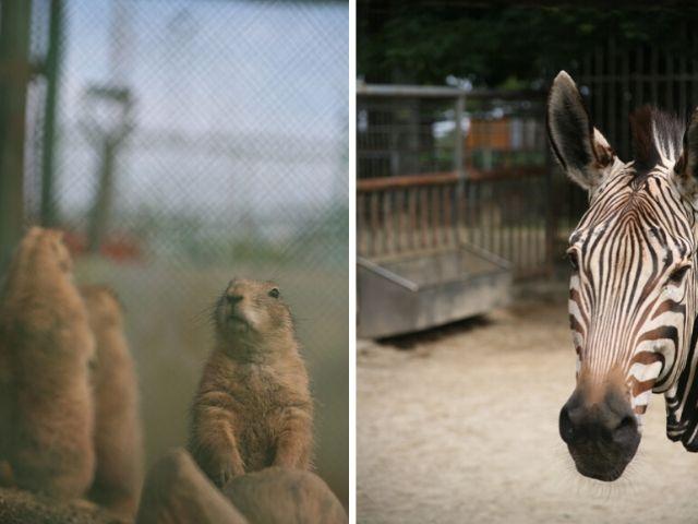 かみね公園 かみね動物園 シマウマ プレリードッグ