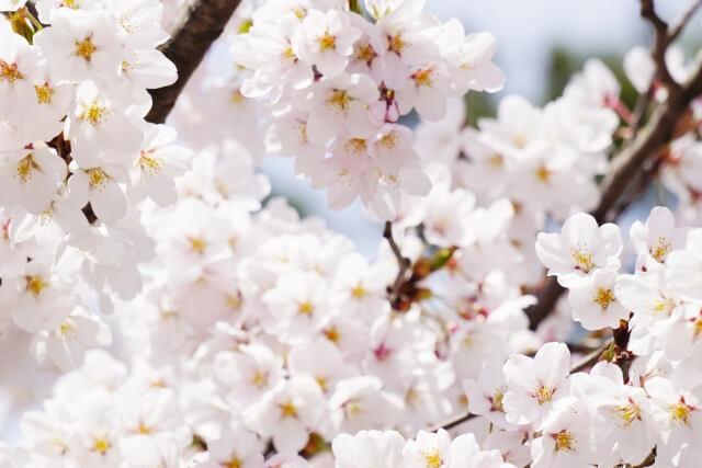 日立さくらまつり 桜 開花状況 見頃