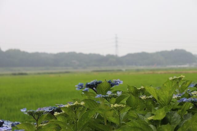 二本松寺 あじさいの杜 あじさいまつり 田園風景