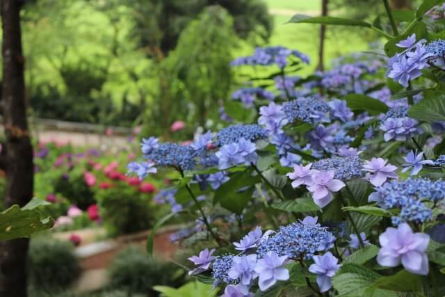 二本松寺 あじさいの杜 青い紫陽花