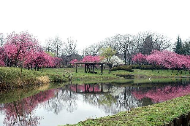 古河桃まつり 桃林 園内の池