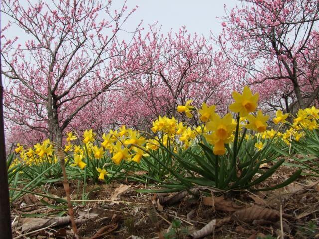 古河桃まつり 開花状況 桃の花とスイセン