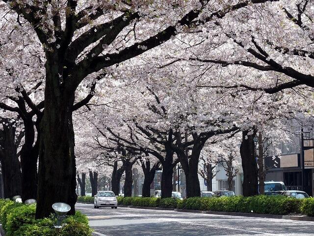 日立さくらまつり 平和通り 桜のトンネル