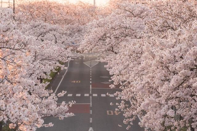 日立さくらまつり 平和通り 桜 開花状況 満開