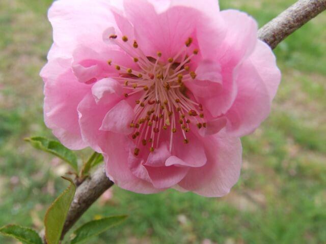 古河桃まつり 桃の花