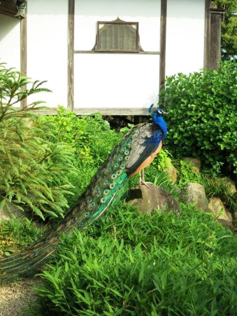 雨引観音 境内 孔雀