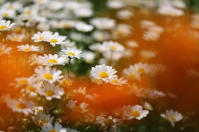 七ツ洞公園 花 ジニア