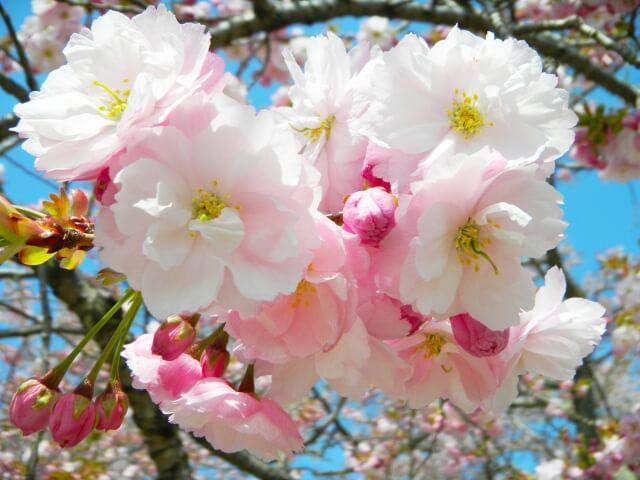 静峰ふるさと公園 桜 開花状況 八重桜まつり